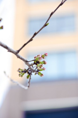 目黒川 桜 開花