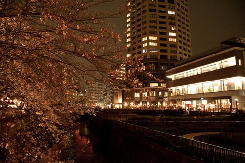 ナカメアルカス 目黒川桜