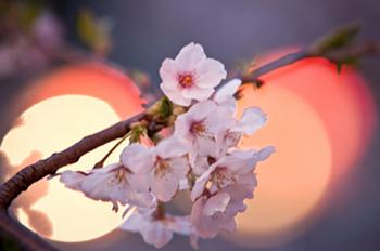 ナカメアルカス 目黒川 桜